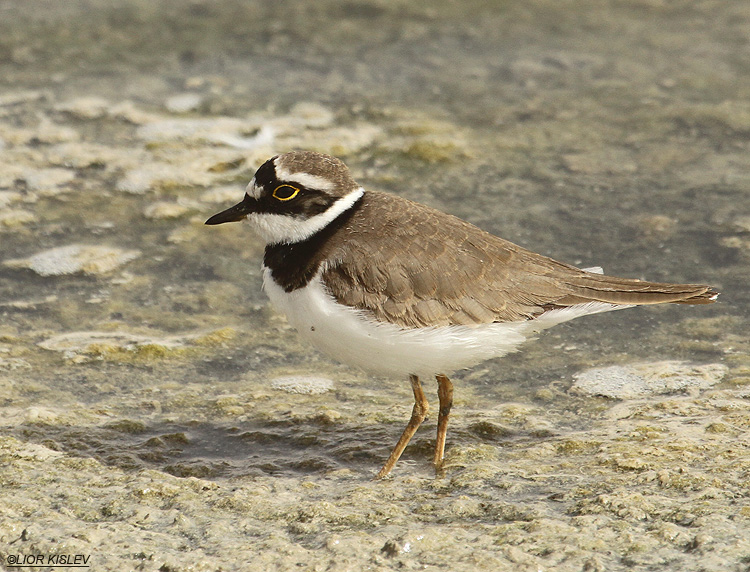Little Ringed Plover  Charadrius dubius   salt ponds ,km20, Eilat , March 2012. Lior Kislev