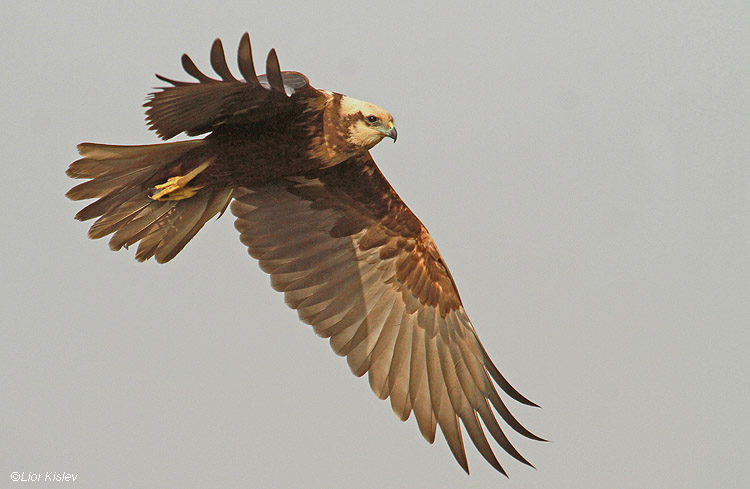 Marsh Harrier  Circus aeruginosus    ,Beit Shean valley, Israel ,December 2010 Lior Kislev