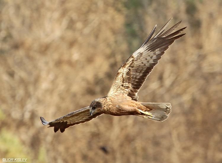 Marsh Harrier  Circus aeruginosus    ,Eilat , Israel ,06-04-10 Lior Kislev