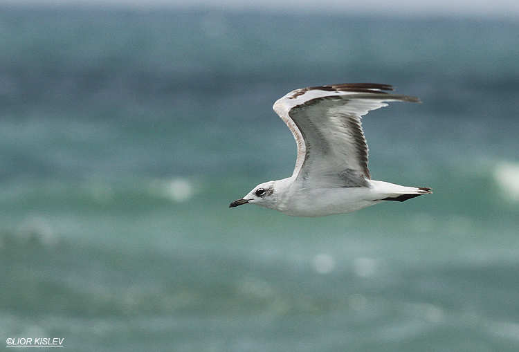 Mediterranean Gull , Larus melanocephalus(second year)Maagan Michael ,July 2013  Lior Kislev