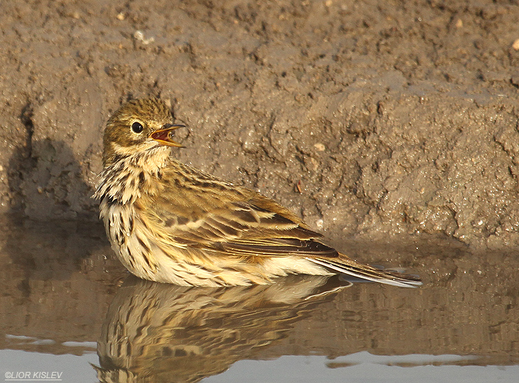 Anthus pratensis   Meadow Pipit    Beit Shean valley ,December 2010,Lior Kislev