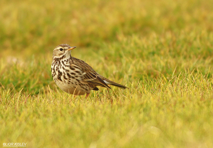 Anthus pratensis   Meadow Pipit , Kibbutz Gaash ,December 2012,Lior Kislev