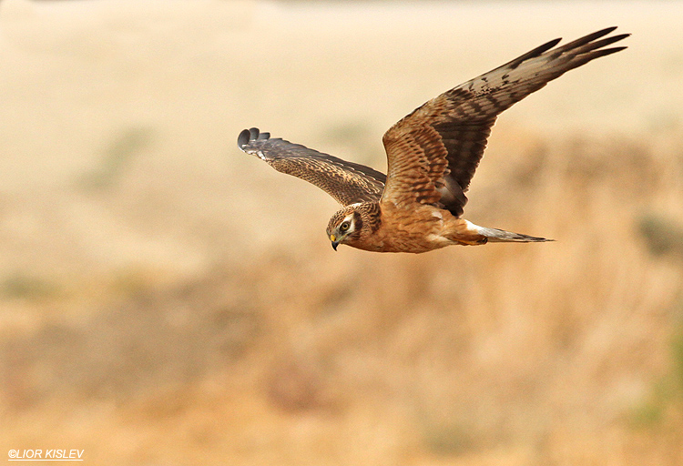 Montagus Harrier Circus pygargus  Jordan valley ,  October  2013 Lior Kislev