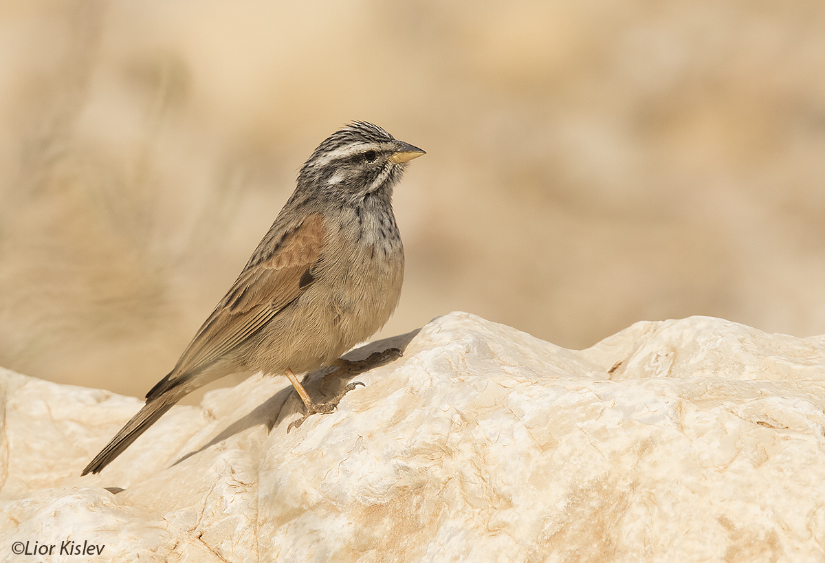 Mountain Bunting Emberiza ,Dead sea ,January  2016,Lior Kislev