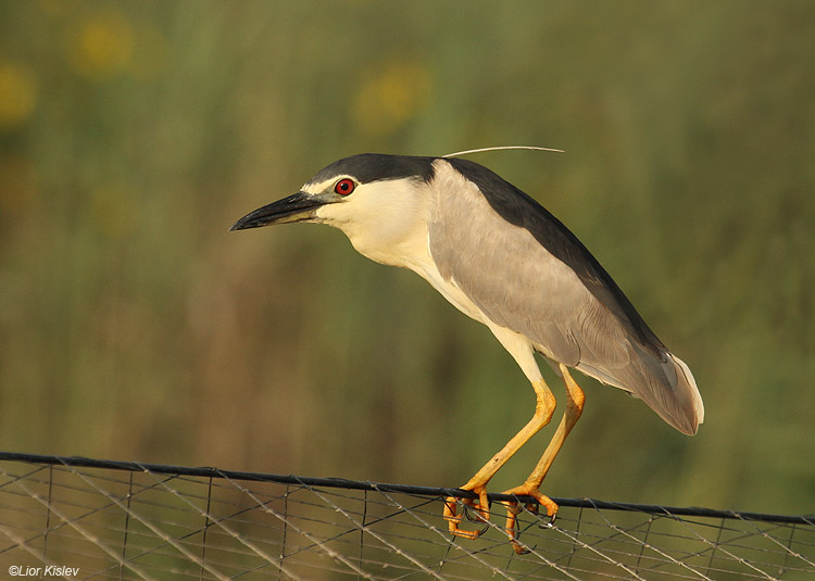 אנפת לילה  Black-crowned Night-Heron                                    Nycticorax nycticorax ,מעגן מיכאל,אוגוסט 2010.