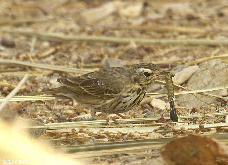 Olive-backed Pipit Anthus hodgsoni ,Eilat , April 2012.