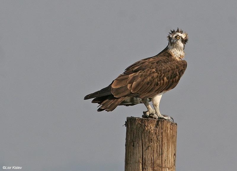 שלך Osprey  Pandion haliaetus                                              עמק בית שאן ,אפריל  2007 .צלם:ליאור כסלו
