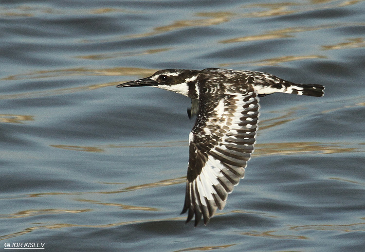 ,  Pied Kingfisher  Ceryele rudis Maagan Michael,October 2011,Lior Kislev