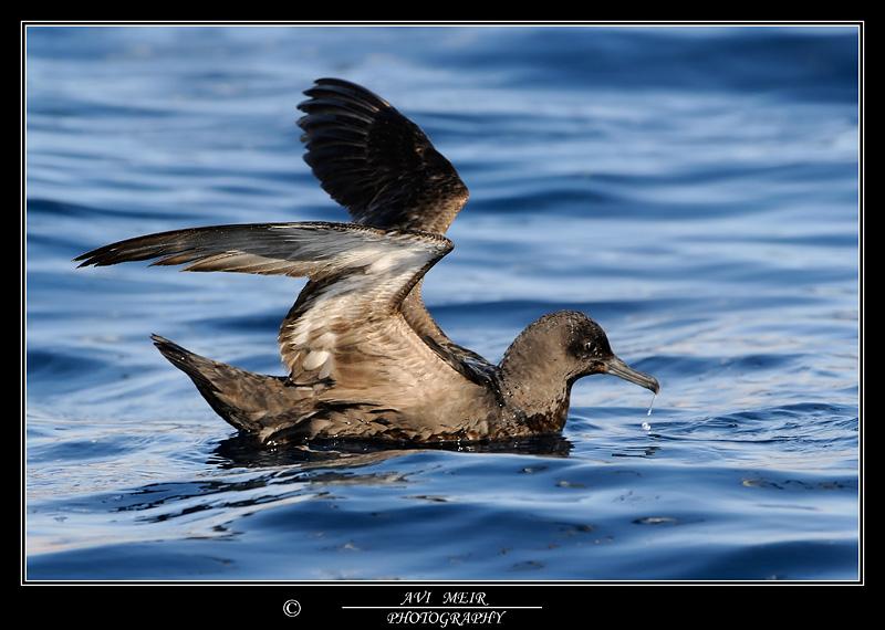 יסעור כהה Sooty Shearwater Pffinus grisues                                    מפרץ אילת,מאי 2008,צלם:אבי מאיר.