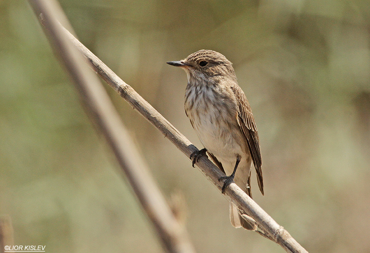 Spotted Flycatcher Muscicapa striata ,Maagan Michael ,26-08-13 Lior Kislev
