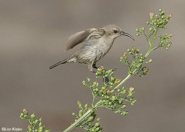צופית   Palestine Sunbird Nectarinia osea                            נחל סמק,רמת הגולן,נובמבר 2008.צלם:ליאור כסלו