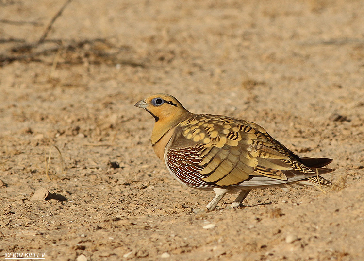 pin tailed sandgrouse pterocles alchta, Nitzana ,June 2013, Lior Kislev