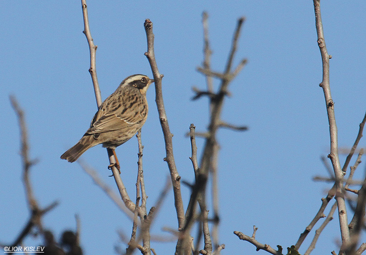 Accentor   Prunella ocularis,  mt Bar-on ,Golan heights ,December 2011 Lior Kislev