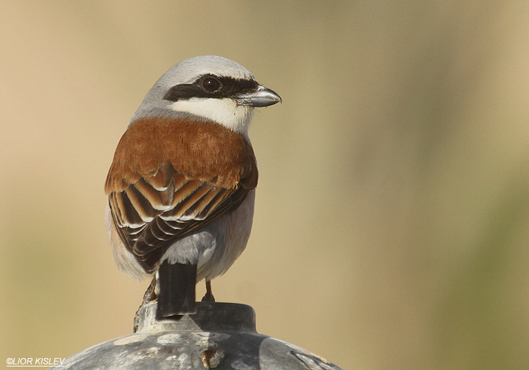 Red backed shrike ,Neot Smadar ,April  2012  Lior Kislev