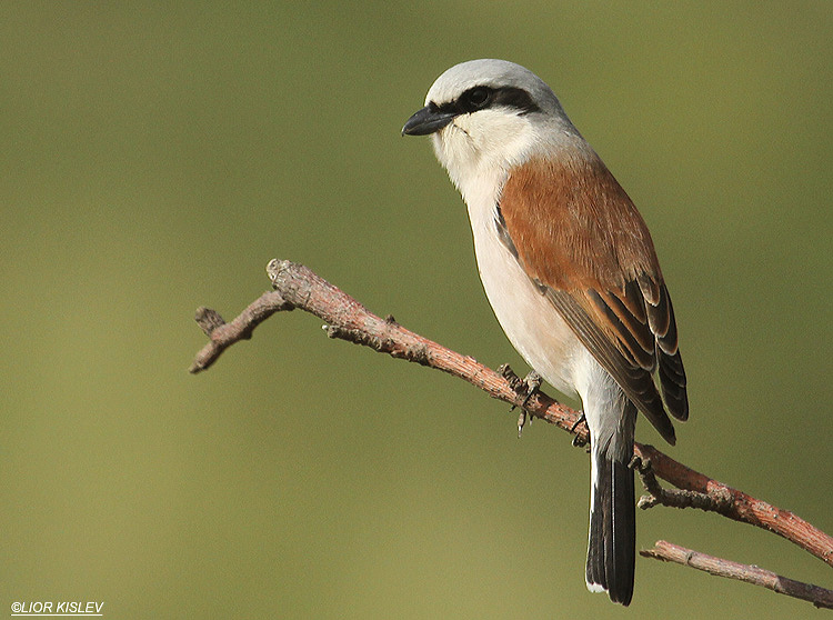 Red backed shrike  Lanius collurio Bacha valley ,Golan  26-04-10 Lior Kislev