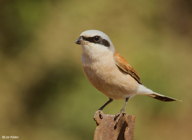 Red backed shrike  Lanius collurio Bacha valley ,golan  13-09-11 Lior Kislev