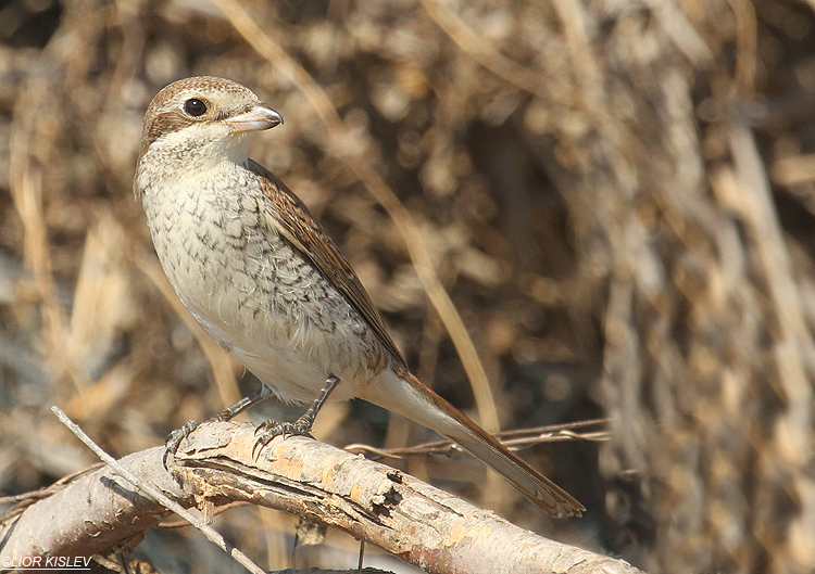 Red backed shrike ,Maagan Michael ,October 2012  Lior Kislev