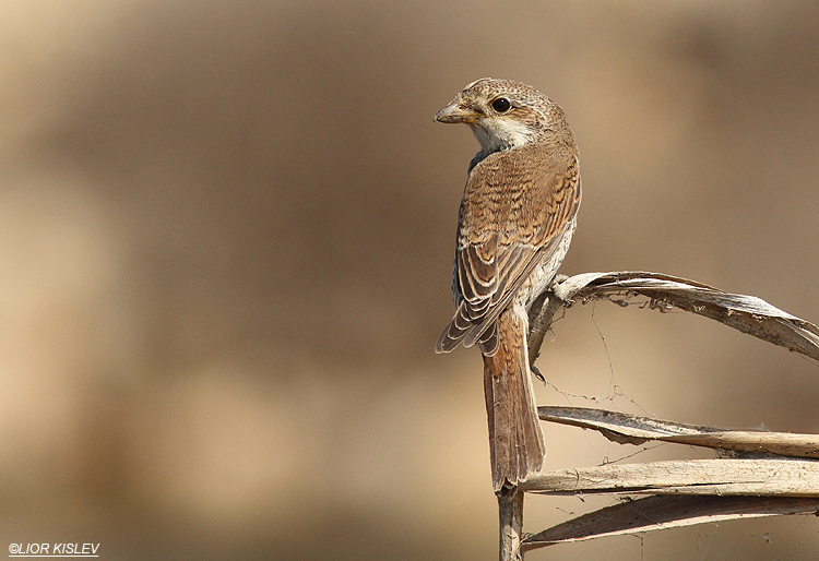 Red backed shrike ,Maagan Michael ,September 2013.  Lior Kislev