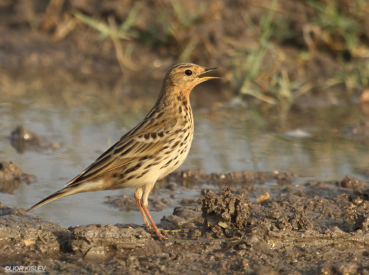 Red-throated Pipit Anthus cervinus ,Beit Shean valley ,November 2010.Lior Kislev