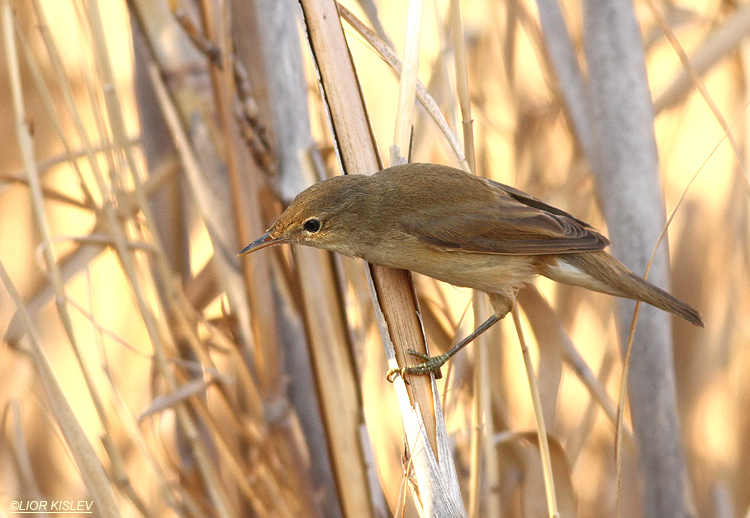 Eurasian Reed Warbler Acrocephalus scirpaceus, the Btecha, October 2013.