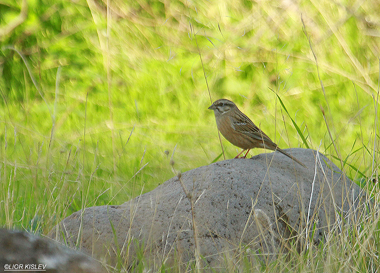 Rock Bunting  Emberiza cia  ,Wadi Samak ,Golan heights , December 2012