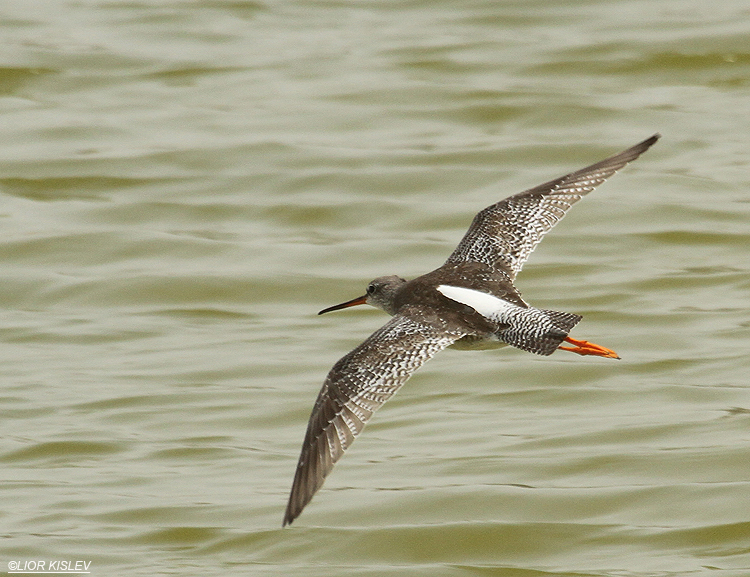 Spotted Redshank  Tringa erythropus  ,Kibbutz Nachsholim fish ponds ,Carmel coast, March 2012  Lior Kislev