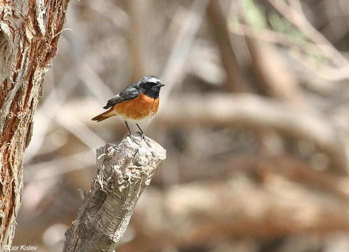חכלילית  עצים Common Redstart   ביוב בהד 1  מרץ 2006                    Phoenicurus phoenicurus   samamisicus