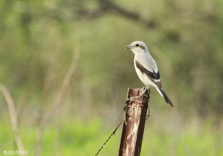 Steppe Shrike Lanius excubitor pallidirostris   the Btecha ,19-12-12 Lior Kislev