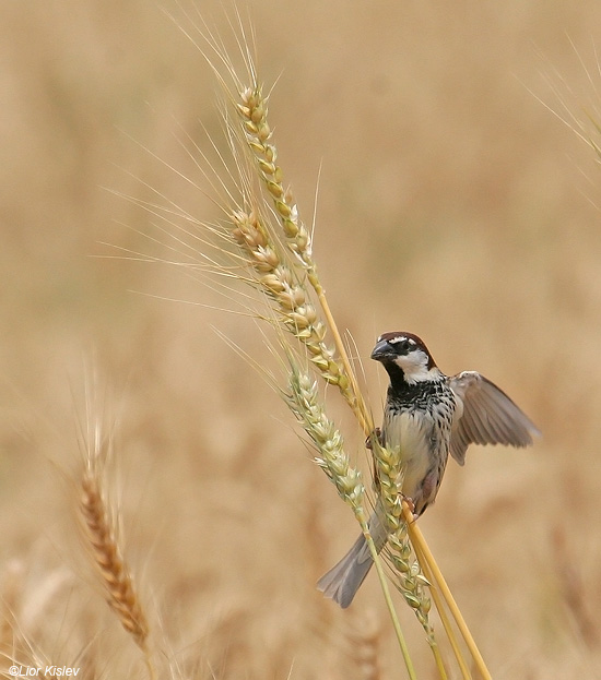 דרור ספרדי  Spanish Sparrow  Passer hispaniolensis                    דרום רמת הגולן  אפריל 2009.צלם:ליאור כסלו