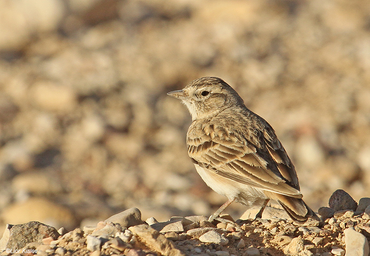 Greater Short-toed Lark  Arava valley  Israel 22-03-11 lior kislev