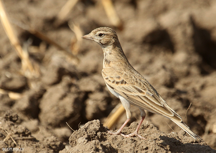 Greater Short-toed Lark ,The Btecha(Jordan River Delta) Israel ,September 2012. Lior kislev