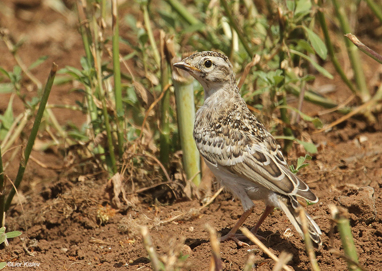 Greater Short-toed Lark (Juv) Golan Israel May 2011. lior kislev