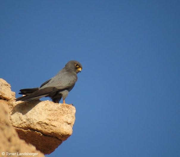 בז שחור  Sooty Falcon Falco concolor                                 נחל תמר אוקטובר 2005 ,תומר לנדסברגר