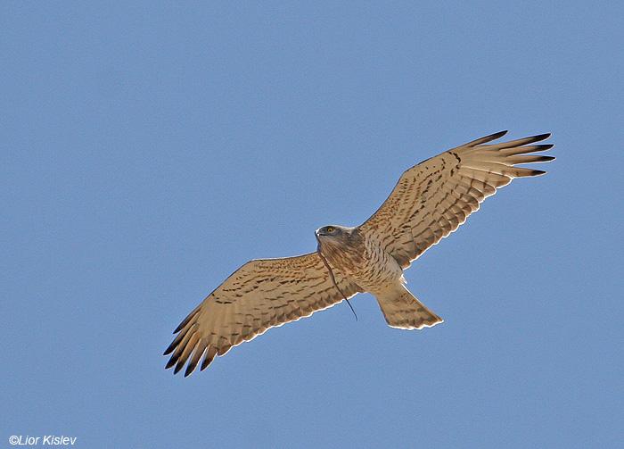 חיוויאי הנחשים Short Toed Eagle  Circaetus gallicus              הר החרמון ,מאי  2008,צלם:ליאור כסלו