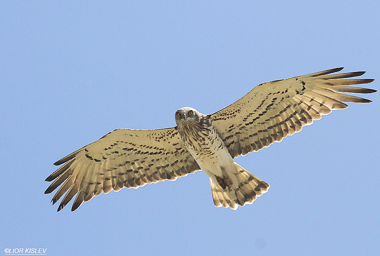 Short Toed Eagle  Circaetus gallicus ,Jordan river near Tuba ,Israel,April 2012 .Lior Kislev