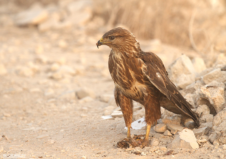 . Steppe Buzzard  Buteo buteo vulpinus.Beit Shean valley,November 2010   Lior Kislev