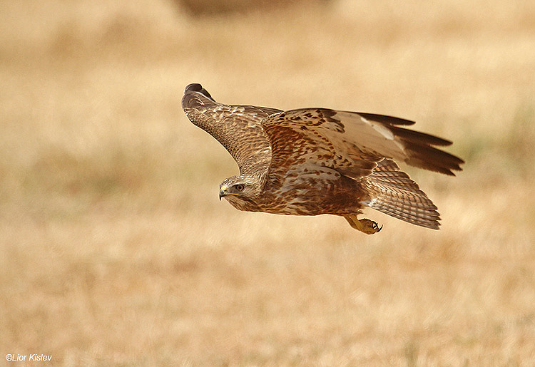 . Steppe Buzzard  Buteo buteo vulpinus.                   Yotveta,Arava Valley,Israel .   May 2010    Lior Kislev