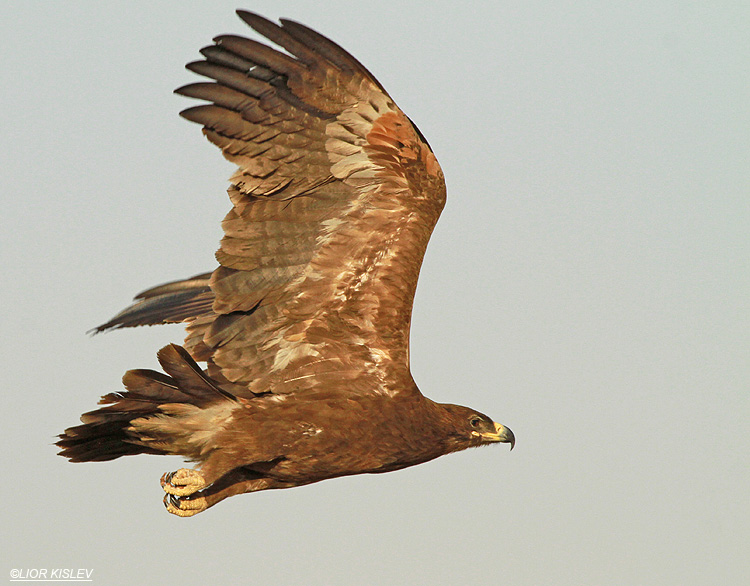 Steppe Eagle Aquila nipalensis,Km 20 Eilat ,March  2013.Lior Kislev