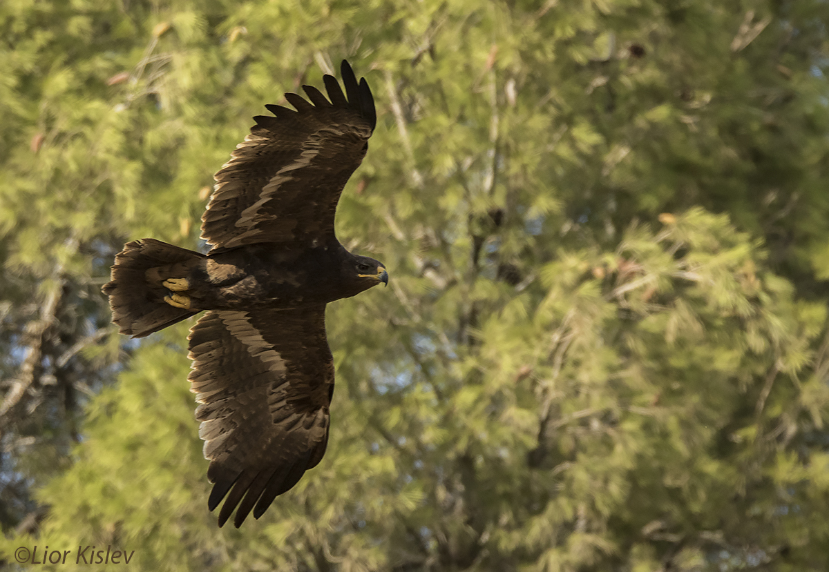 Steppe Eagle Aquila nipalensis,upper galilee  ,October 2015. Lior Kislev