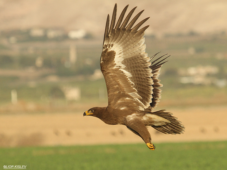 Steppe Eagle Aquila nipalensis,Beit Shean valley ,October 2010.Lior Kislev
