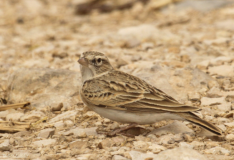 Greater Short-toed Lark ,Eilat Israel ,March 2012. lior kislev