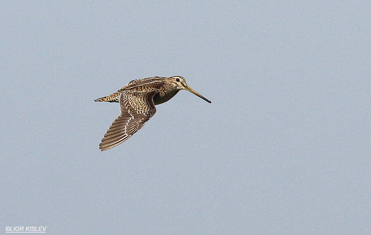 Pin-tailed Snipe  Gallinago stenura Maayan Tzvi fishponds, 15-10-13.