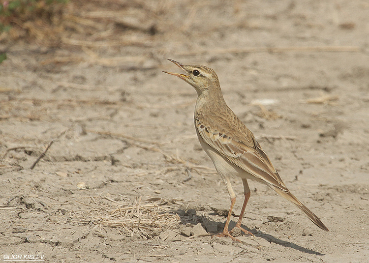 Tawny Pipit  Anthus campestris  Beit Shean valley ,Israel,October 2010 Lior Kislev