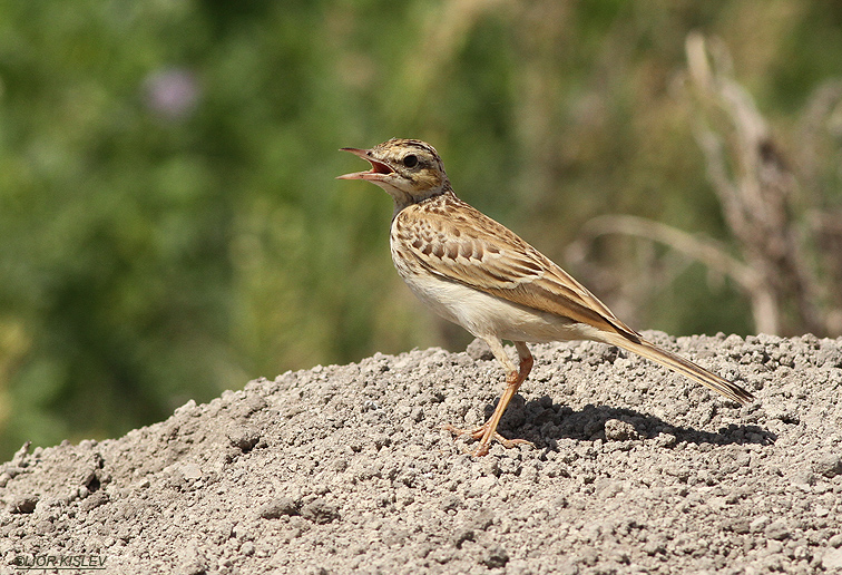Tawny Pipit  Anthus campestris  Beit Shean valley ,Israel,September 2013 Lior Kislev