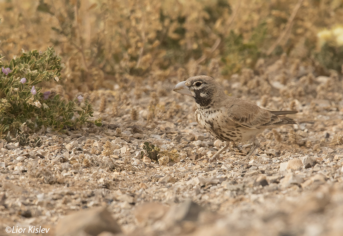 Thick-billed Lark  Ramphocoris clotbey,Arava valley,March 2016.Lior Kislev