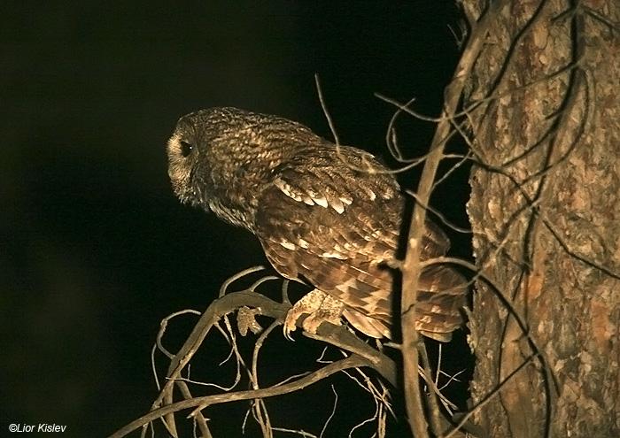 לילית מצויה   Tawny Owl Strix aluco                                  יער ביריה(צפת),יוני 2009.צלם:ליאור כסלו