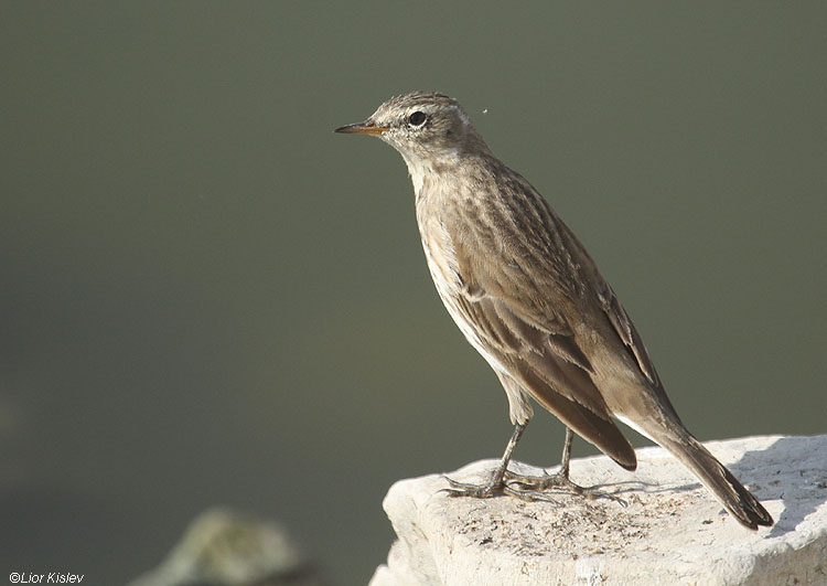 Water Pipit Anthus spinoletta   Beit Shean valley 28-11-10 Lior Kislev