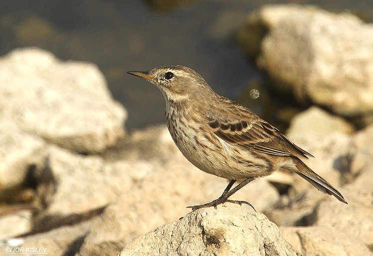 Water Pipit Anthus spinoletta   Beit Shean valley 19-11-12 Lior Kislev