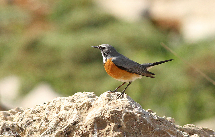 White-throated Robin  Irania gutturalis mt Hermon .May 2014.Lior Kislev