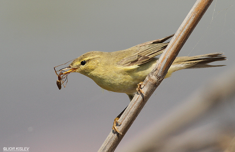 Willow Warbler  Phylloscopus trochilus   ,Maagan Michael  ,September 2013,Lior Kislev